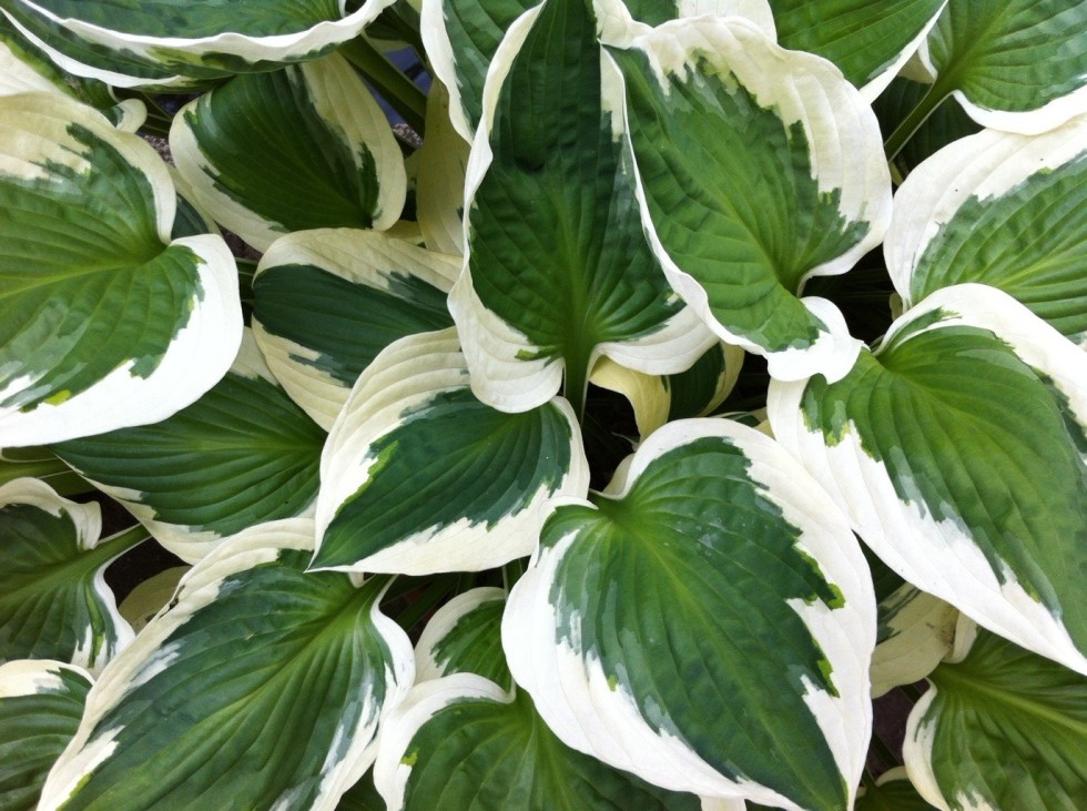 Hosta 'Patriot', June 2012