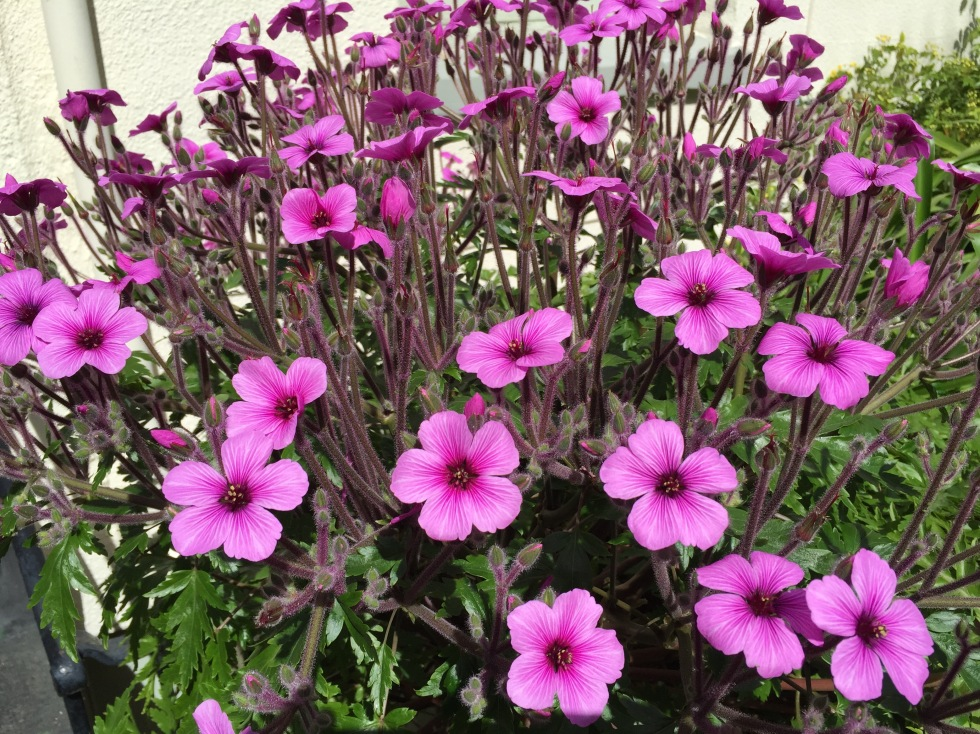 The flowers of Geranium maderense fade from fierce magenta to antique pink in bright sunshine