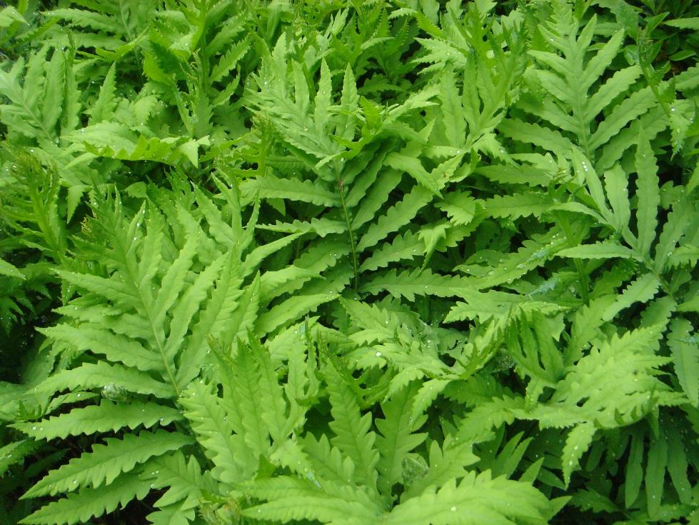 Moisture loving fern, Onoclea sensibilis