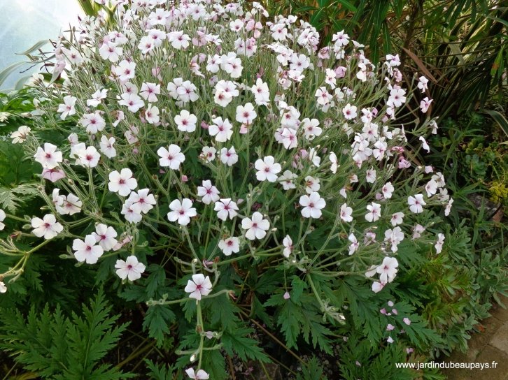 Geranium maderense 'Alba' and 'Guernsey White' have white flowers with pink eyes
