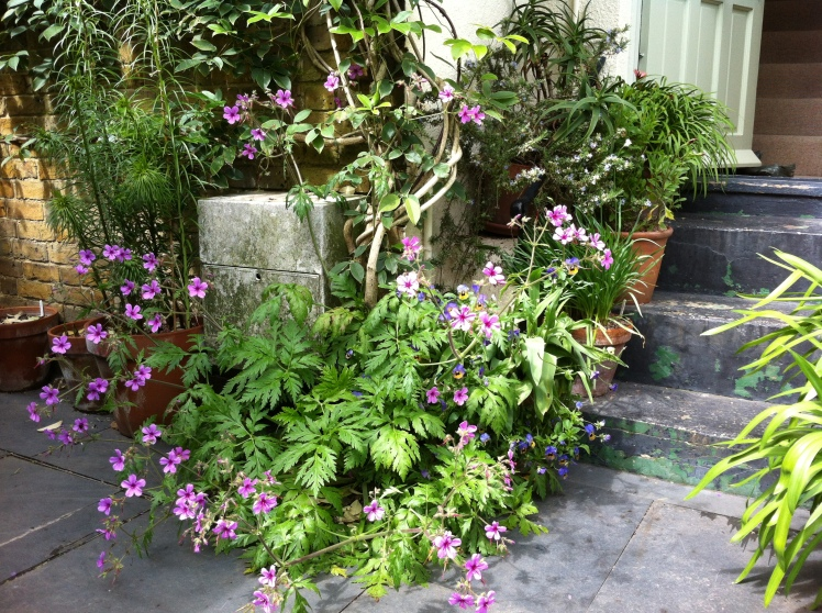 Geranium palmatum at the foot of our front steps