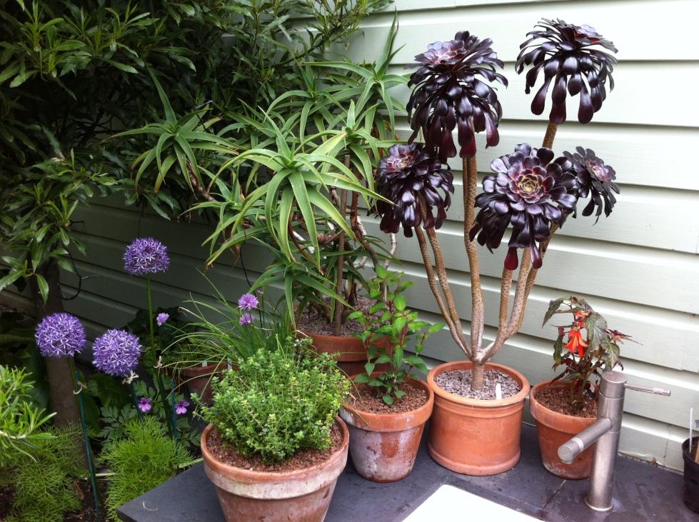 """Aloe striatula and Aeonium """"Schwartzkopf"""""""