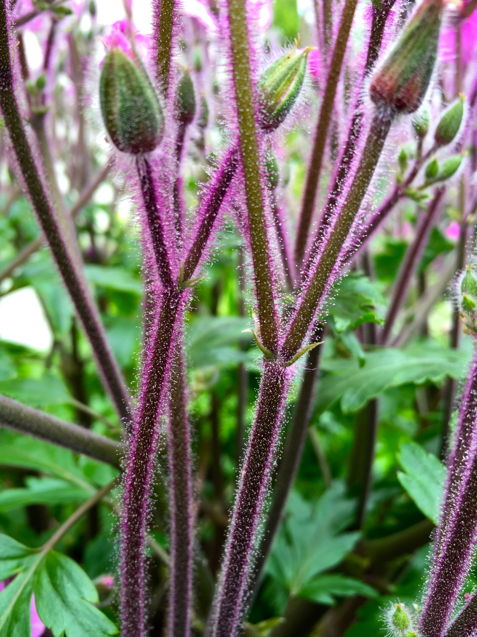 The flower stalks of Geranium maderense are covered in sticky pink hairs
