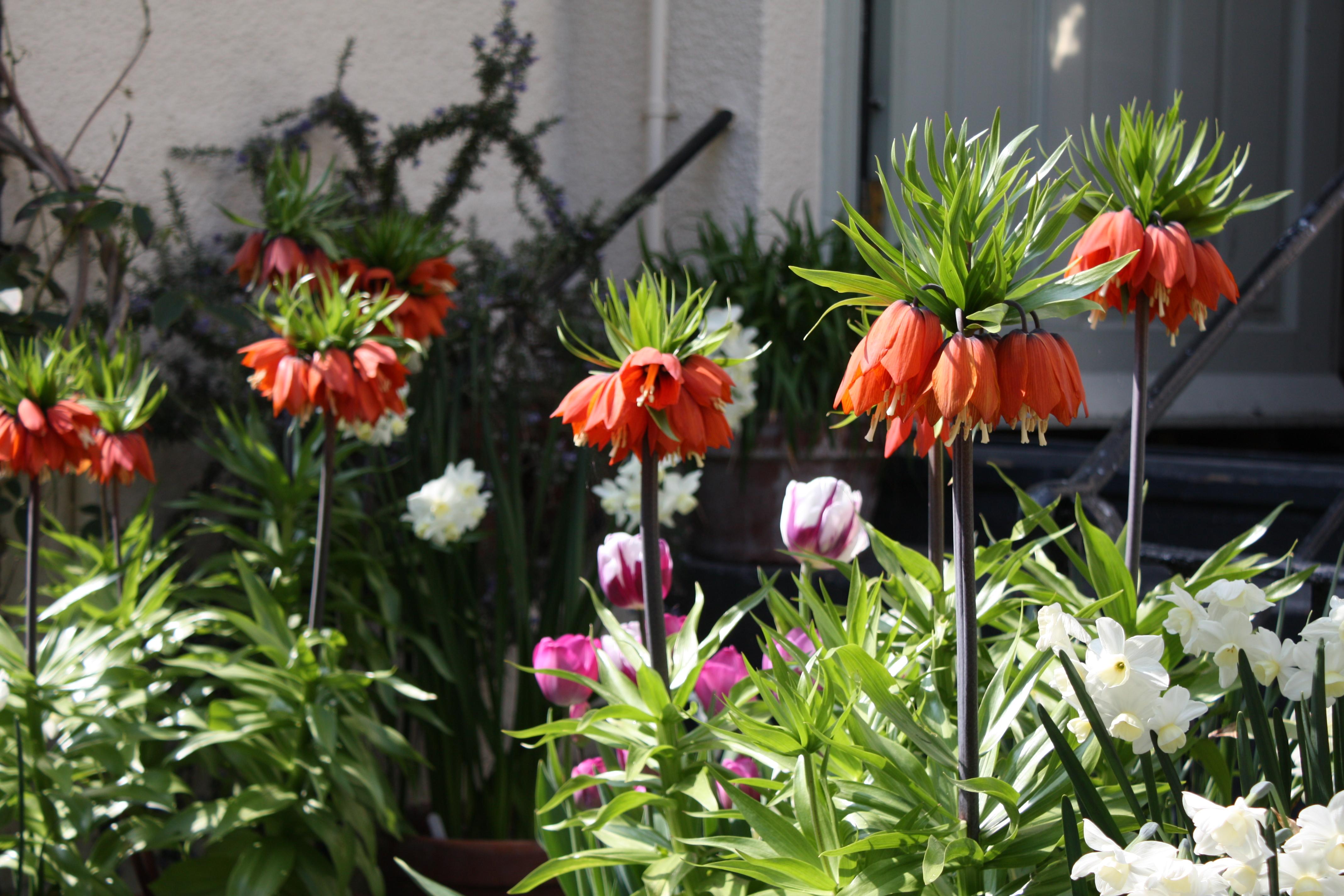 fritillaria imperialis william rex the frustrated gardener. Black Bedroom Furniture Sets. Home Design Ideas