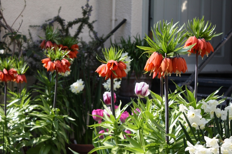 "Fritillaria imperialis ""William Rex"""