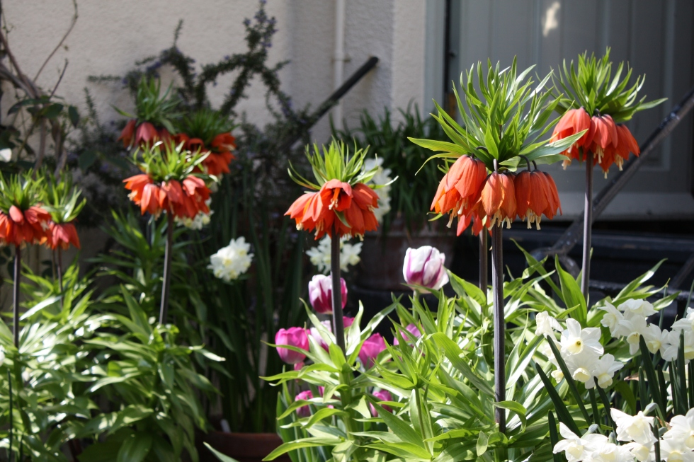"Fritillaria imperialis ""William Rex"" at The Watch House"