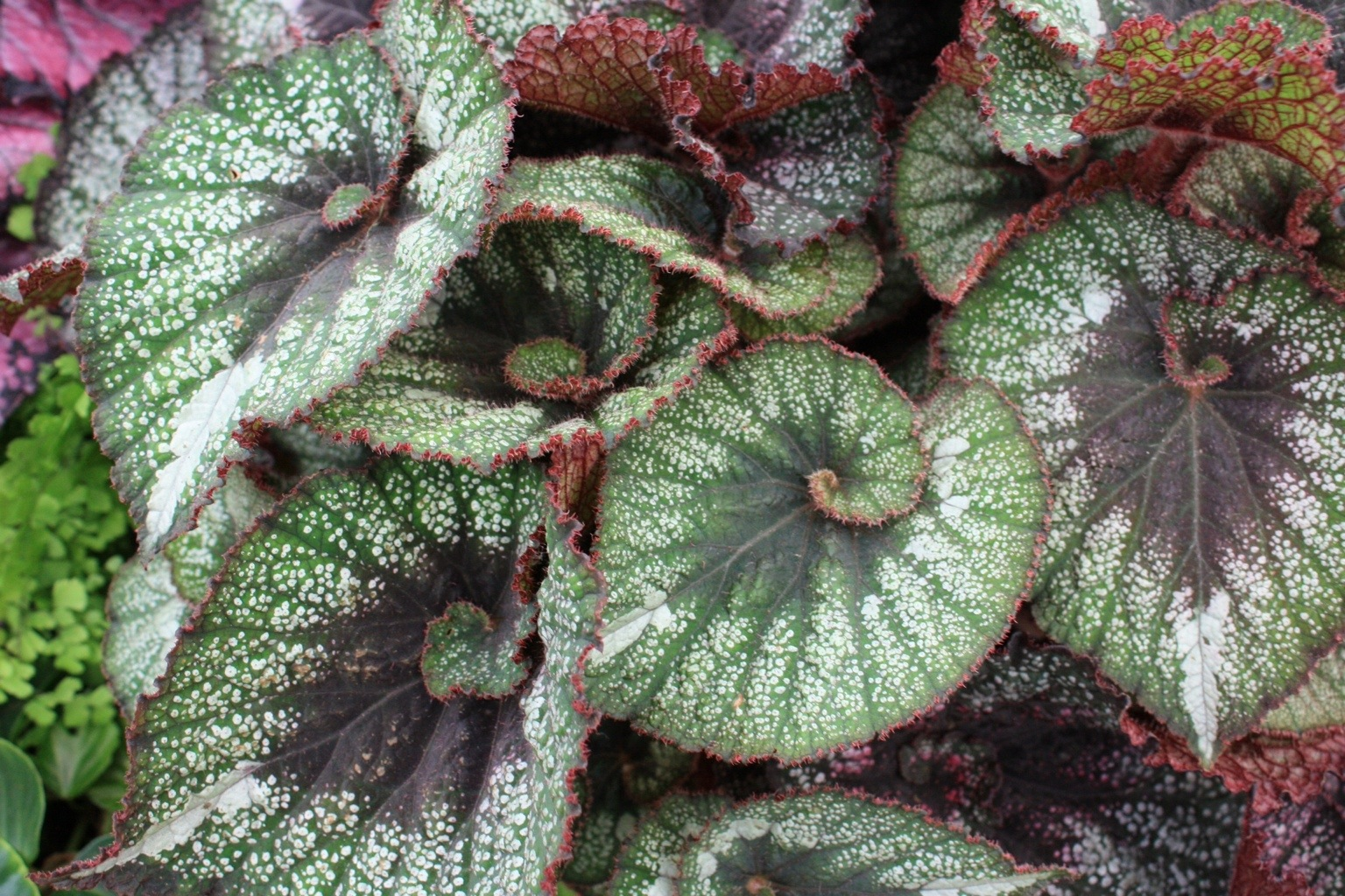 Beguiled By Begonias The Frustrated Gardener