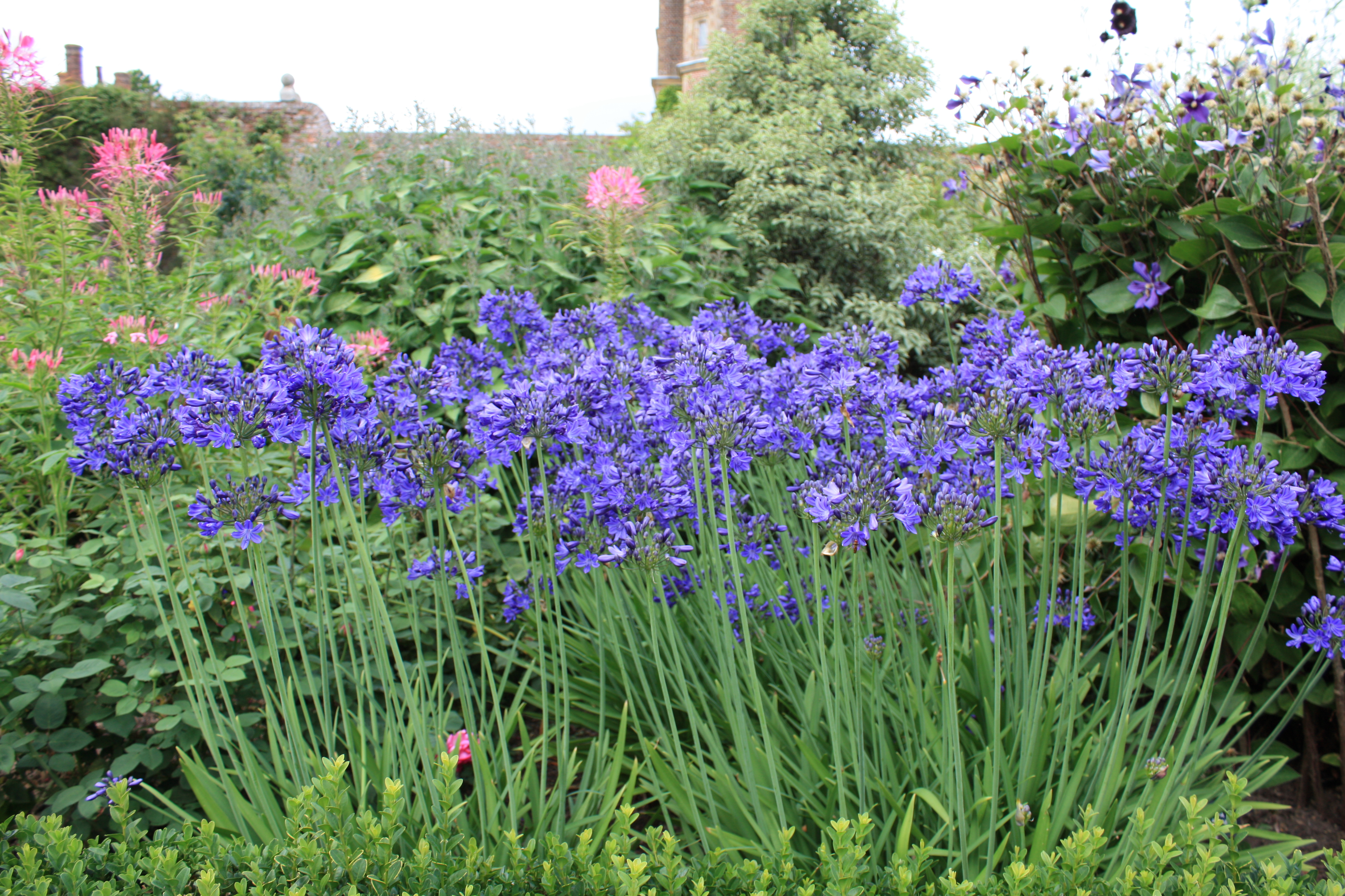 How to persuade agapanthus to flower the frustrated gardener how to persuade agapanthus to flower izmirmasajfo Images