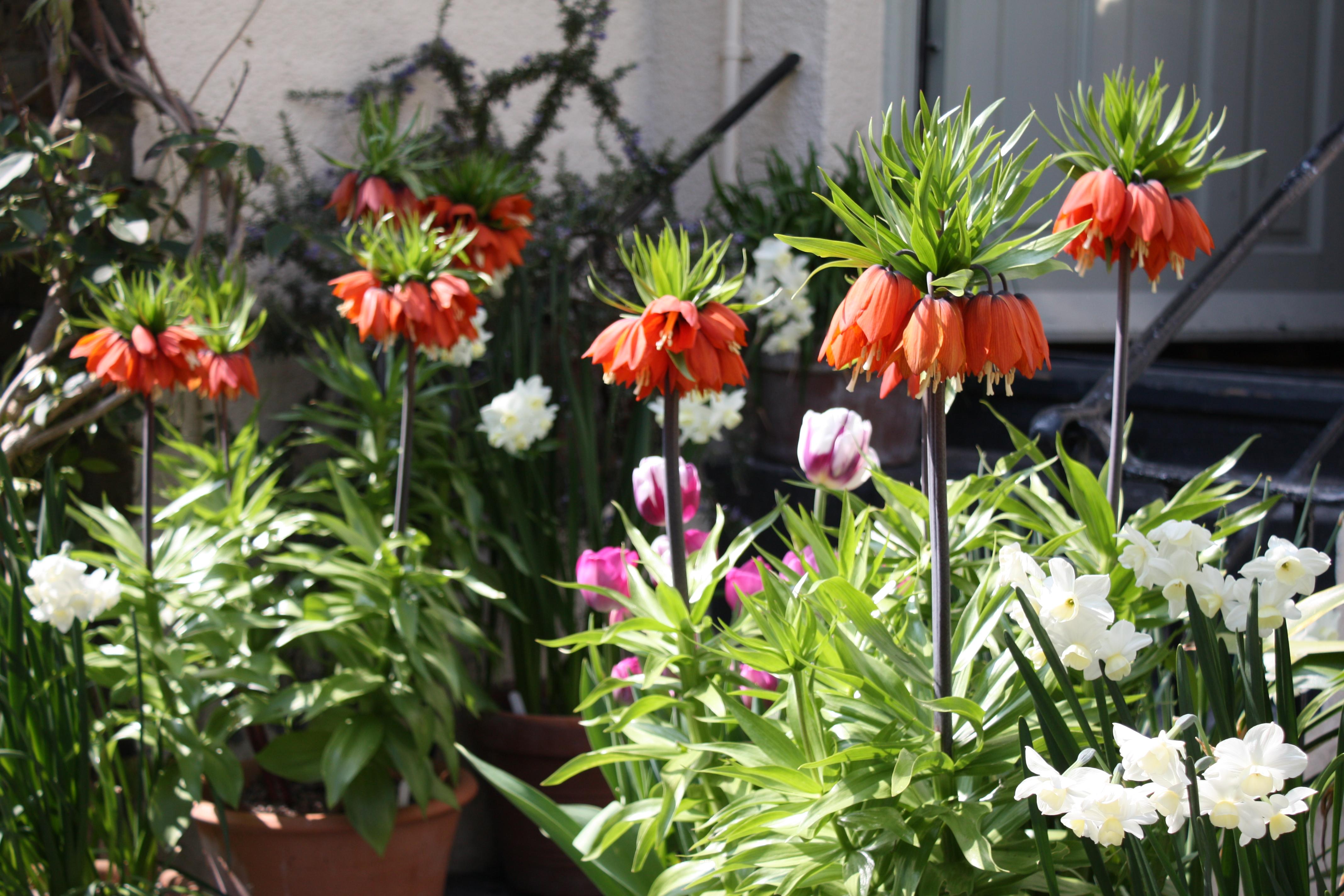pothead bulbs the frustrated gardener. Black Bedroom Furniture Sets. Home Design Ideas