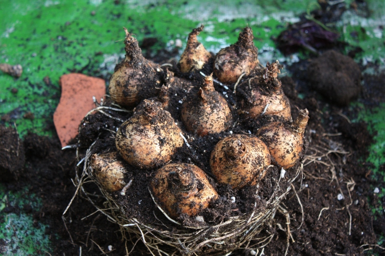 Narcissi bulbs will already be putting down new roots, so can be planted immediately