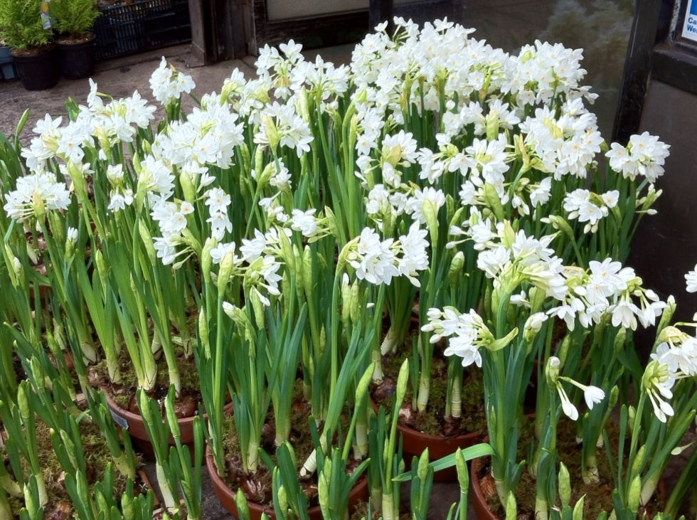 Paperwhites in the New York Flower District