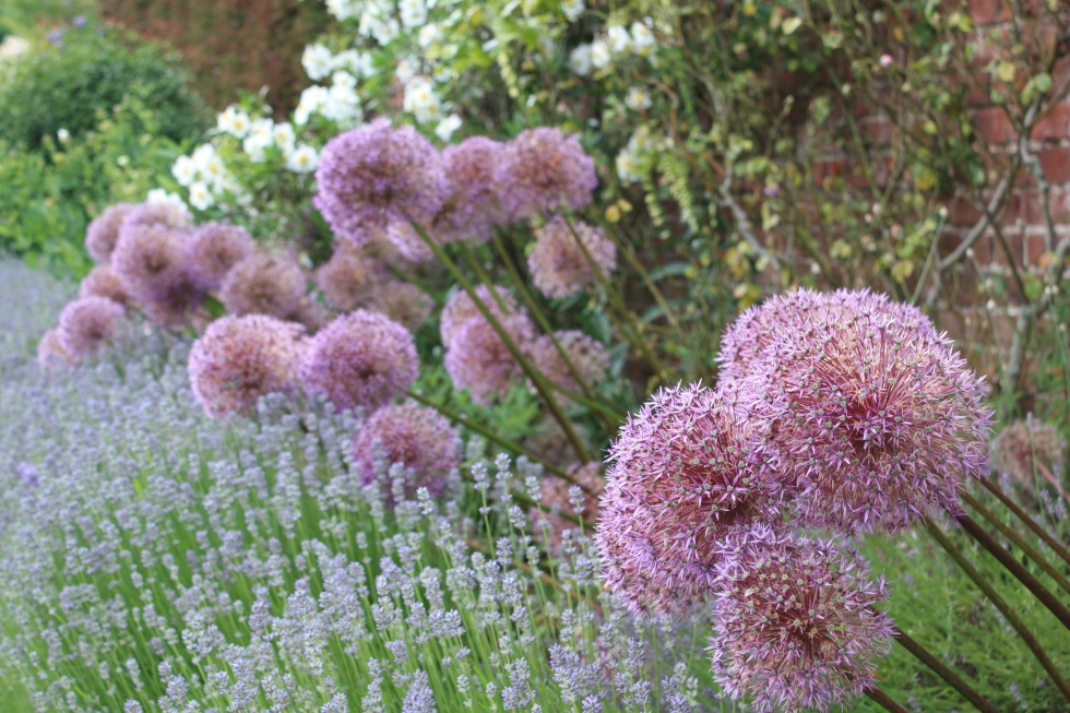 Alliums in the walled gardens at Goodnestone Park