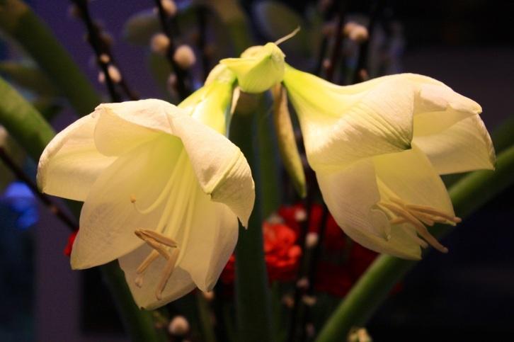 White Amaryllis, Jan 2013