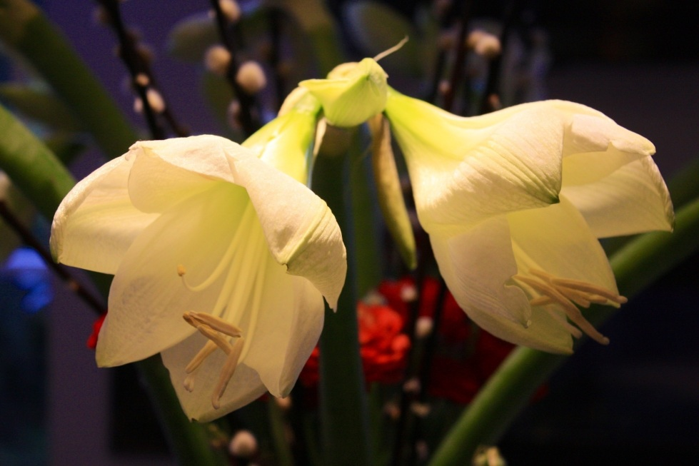 White Amaryllis, Jan 2013
