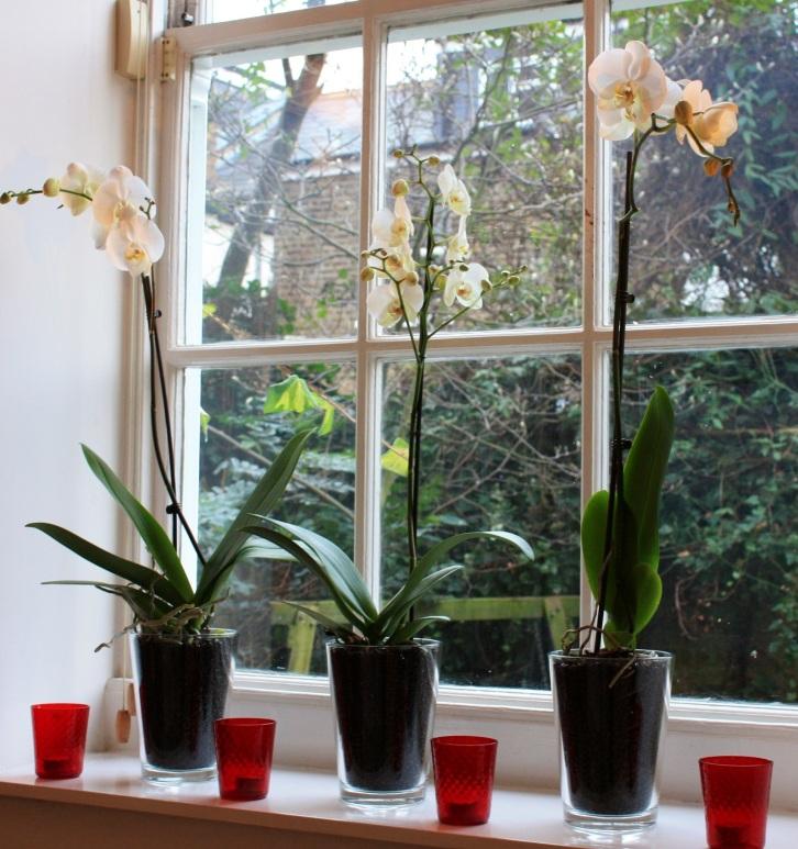 White Phalaenopsis, Jan 2013
