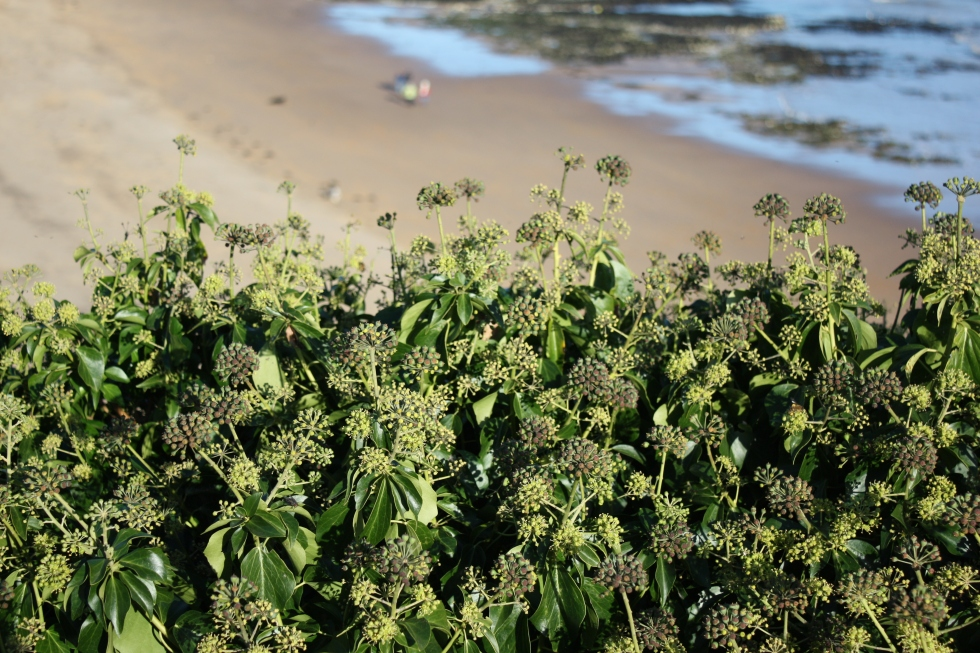 Ivy seed heads on the cliffs at Stone Bay