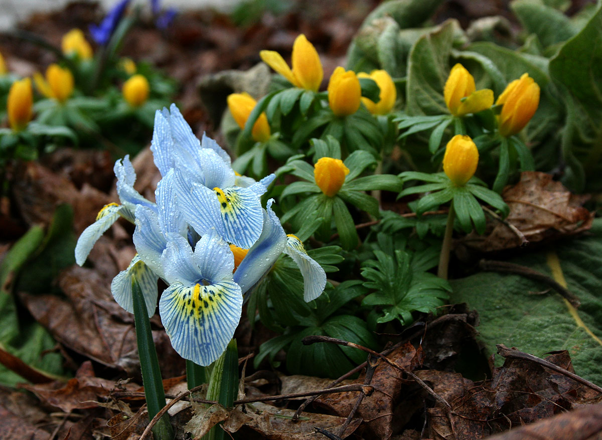 iris reticulata the frustrated gardener. Black Bedroom Furniture Sets. Home Design Ideas