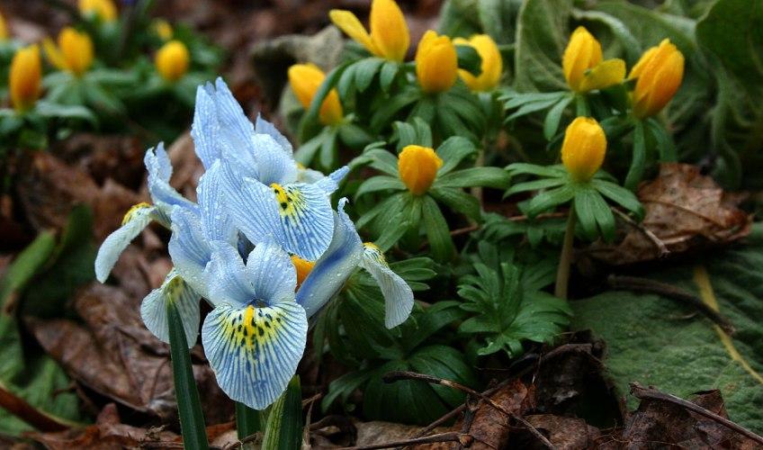 iris reticulata katherine hodgkin the frustrated gardener. Black Bedroom Furniture Sets. Home Design Ideas