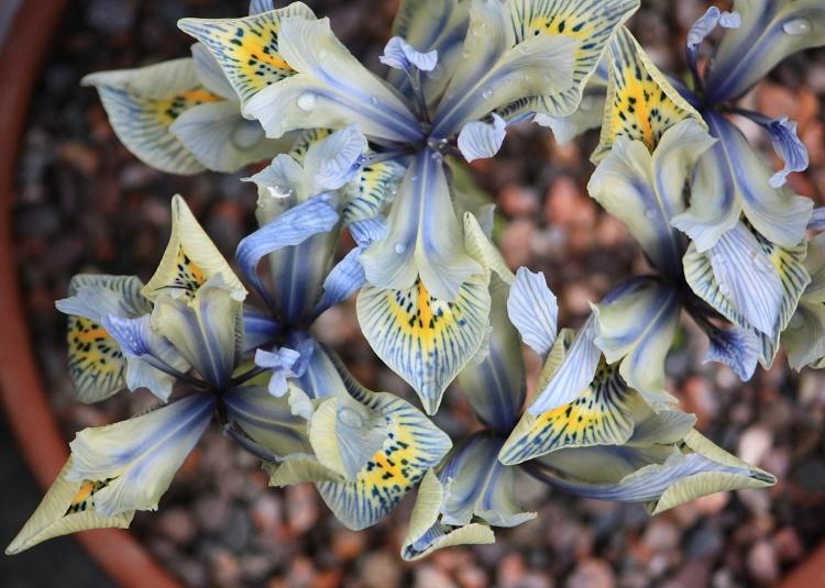 Iris reticulata 'Katherine Hodgkin', 08 Feb 2014