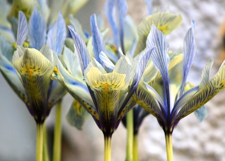 Iris reticulata 'Katherine Hodgkin', Feb 2014