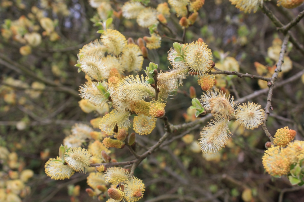 Goat Willow (Salix caprea),  Chapel Porth Valley, Cornwall 2012