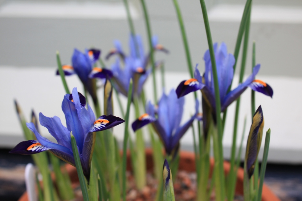 Iris reticulata 'Gordon', Jan 2013