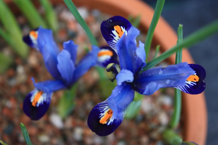 Iris reticulata 'Gordon', Feb 2013