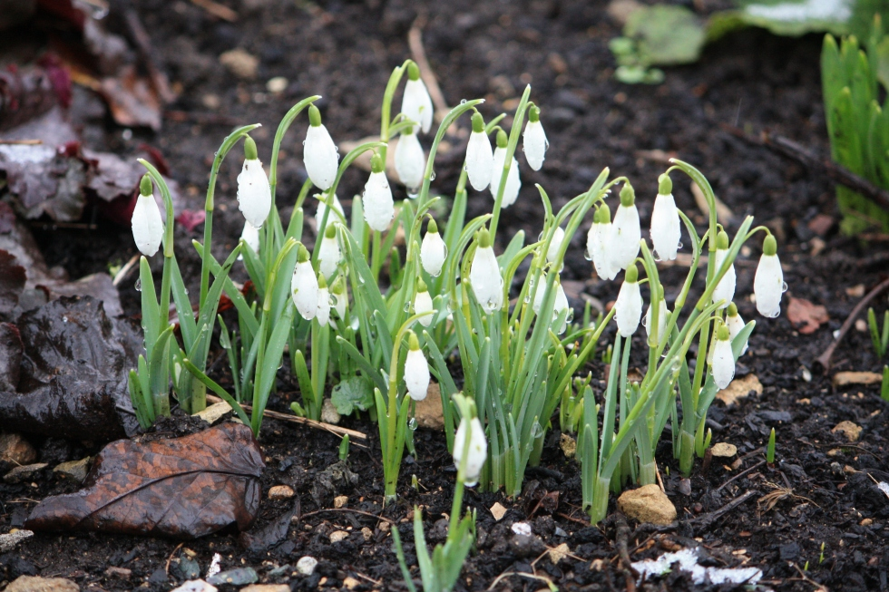 Bibury snowdrops, Feb 2013