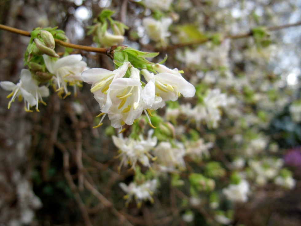 Lonicera × purpusii 'Winter Beauty'