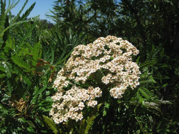 Lyonothamnus floribundus flowers 2