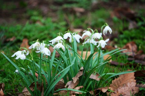 Double snowdrops, Goodnestone Park, Mar 2013