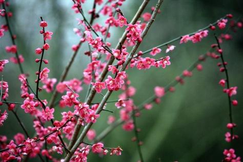 Plum blossom, Goodnestone Park, Mar 2013