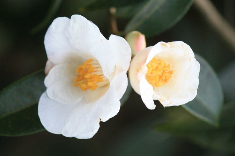 Single white camellia, Goodnestone Park, Kent, Mar 2013