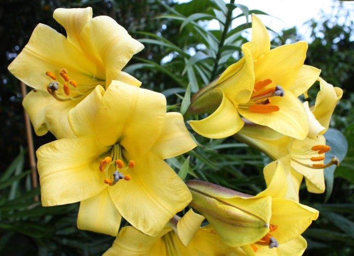 Lilium 'Golden Splendour', Summer 2012