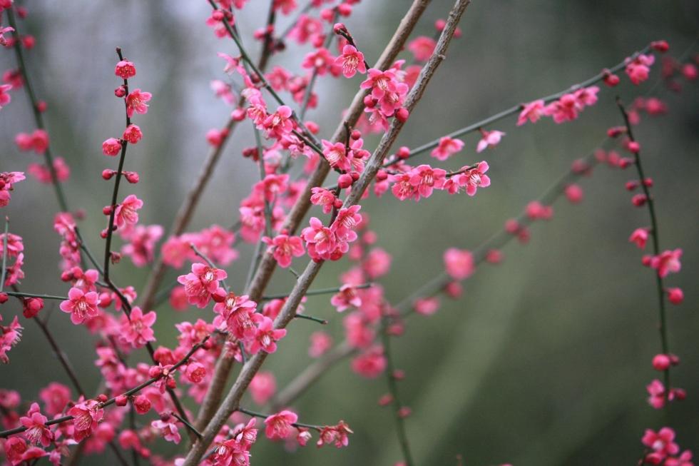 Prunus at Goodnestone Park, Mar 2013