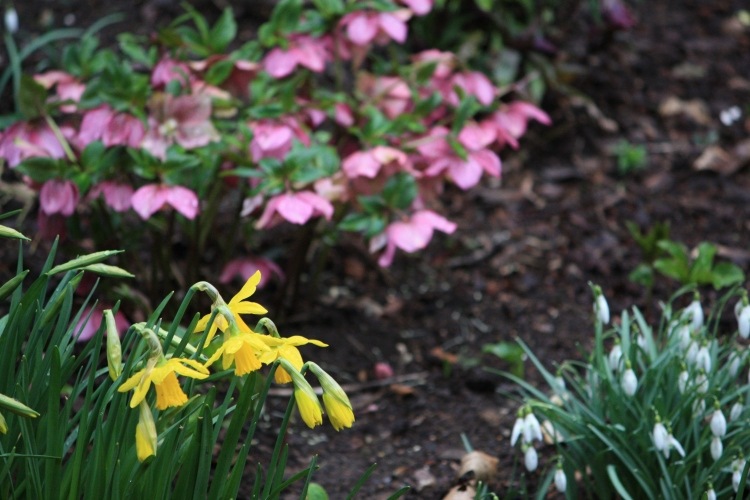 Daffodils, snowdrops and hellebores at Goodnestone Park, 2013