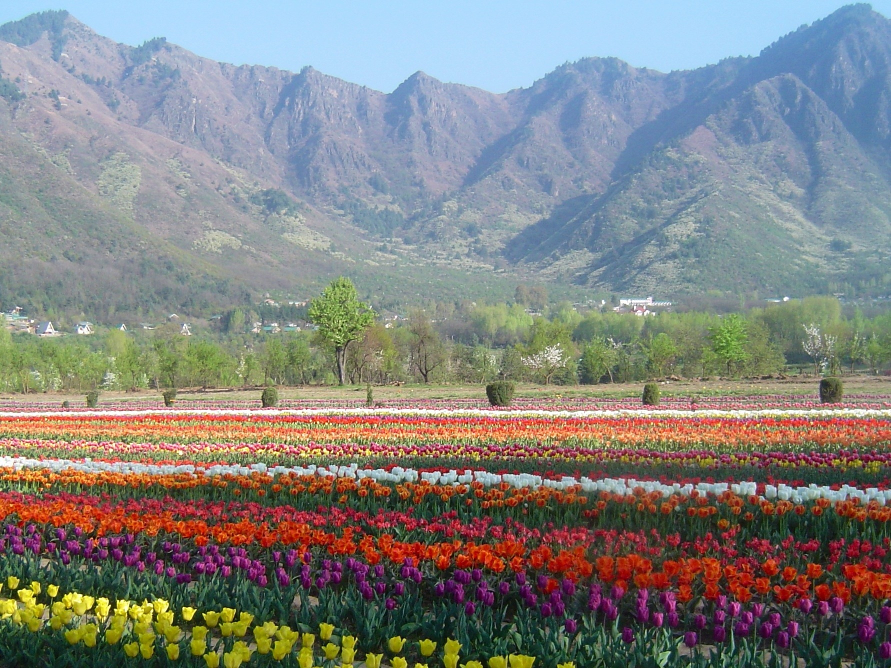 tulips from kashmir – the frustrated gardener