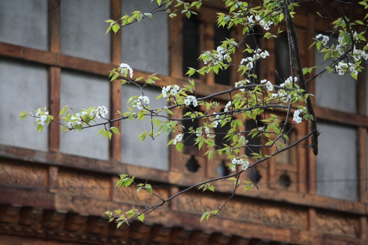 Blossom outside the Swiss Guesthouse, Bumthang, Bhutan, April 2013