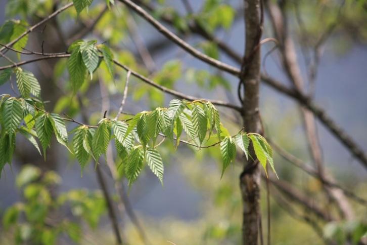 Spring leaves near Pele La, Bhutan, April 2013