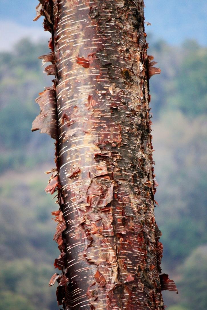 Prunus serrula var. tibetica, Pele La, Bhutan, April 2013
