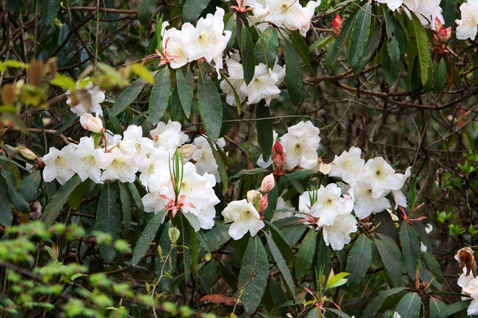 White rhododendron, near Trongsa, Bhutan, April 2013