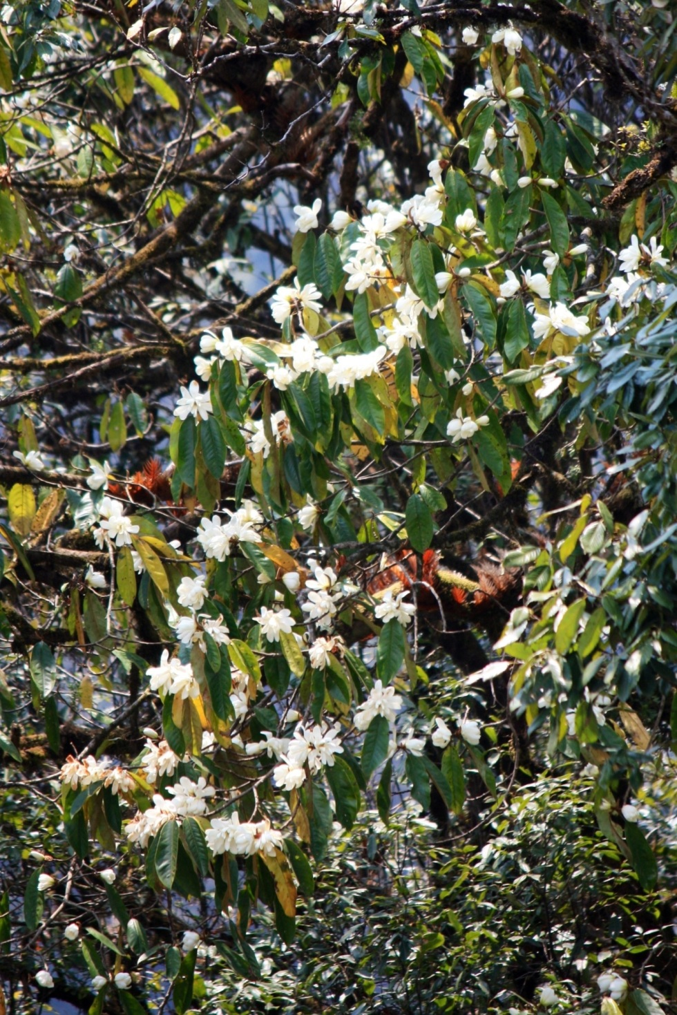 Michelia doltsopa, near Trongsa, Bhutan, April 2013