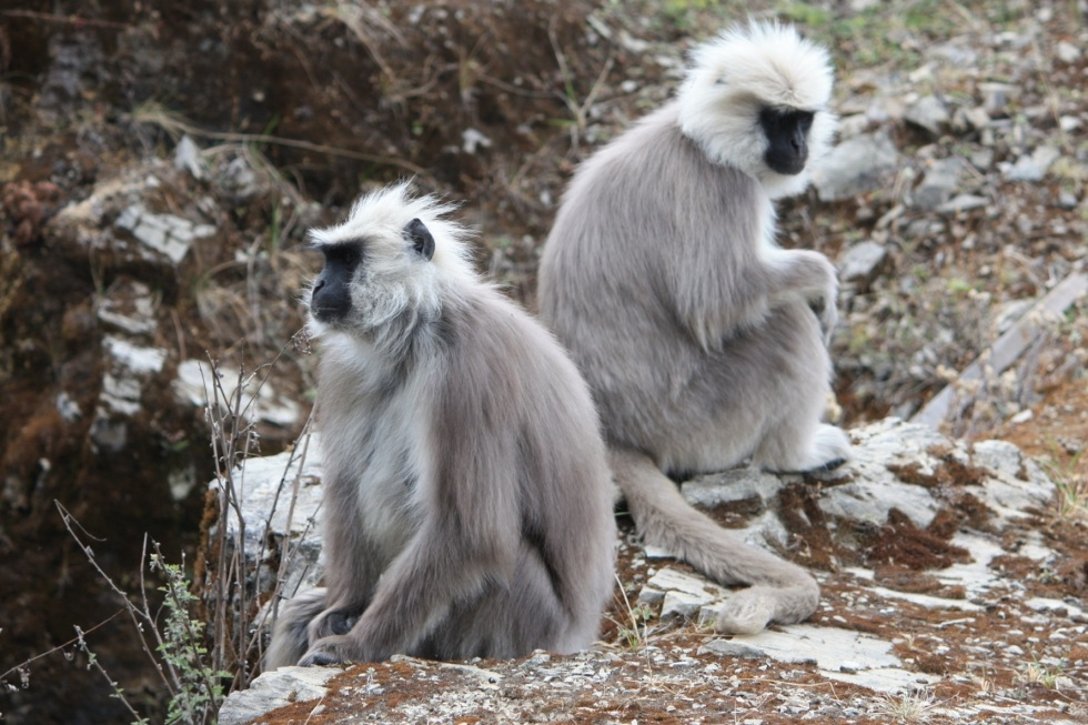 Grey langurs, near Pele La, Bhutan, April 2013