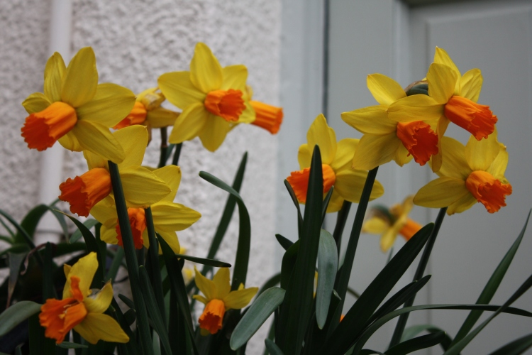 Narcissus 'Jetfire', April 2013