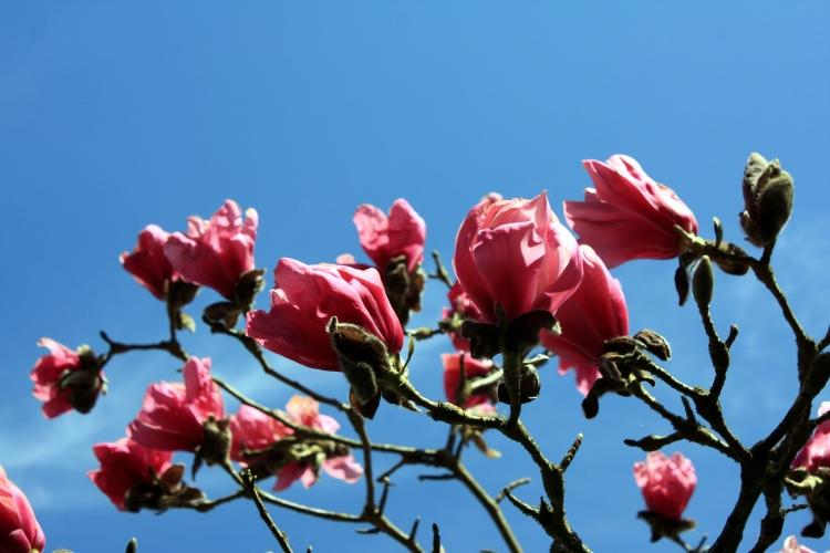 Magnolia sprengeri var. sprengeri 'Eric Savill', The Savill Garden, April 2013