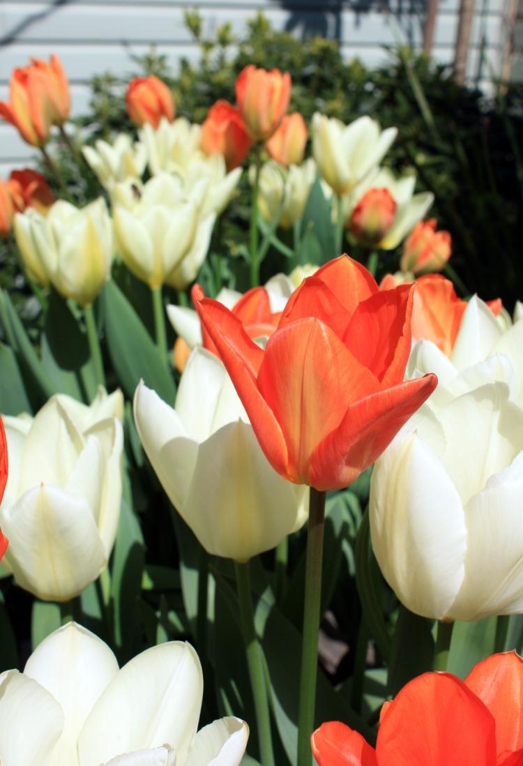 Tulips 'Purissima' and 'Orange Emperor', April 2013