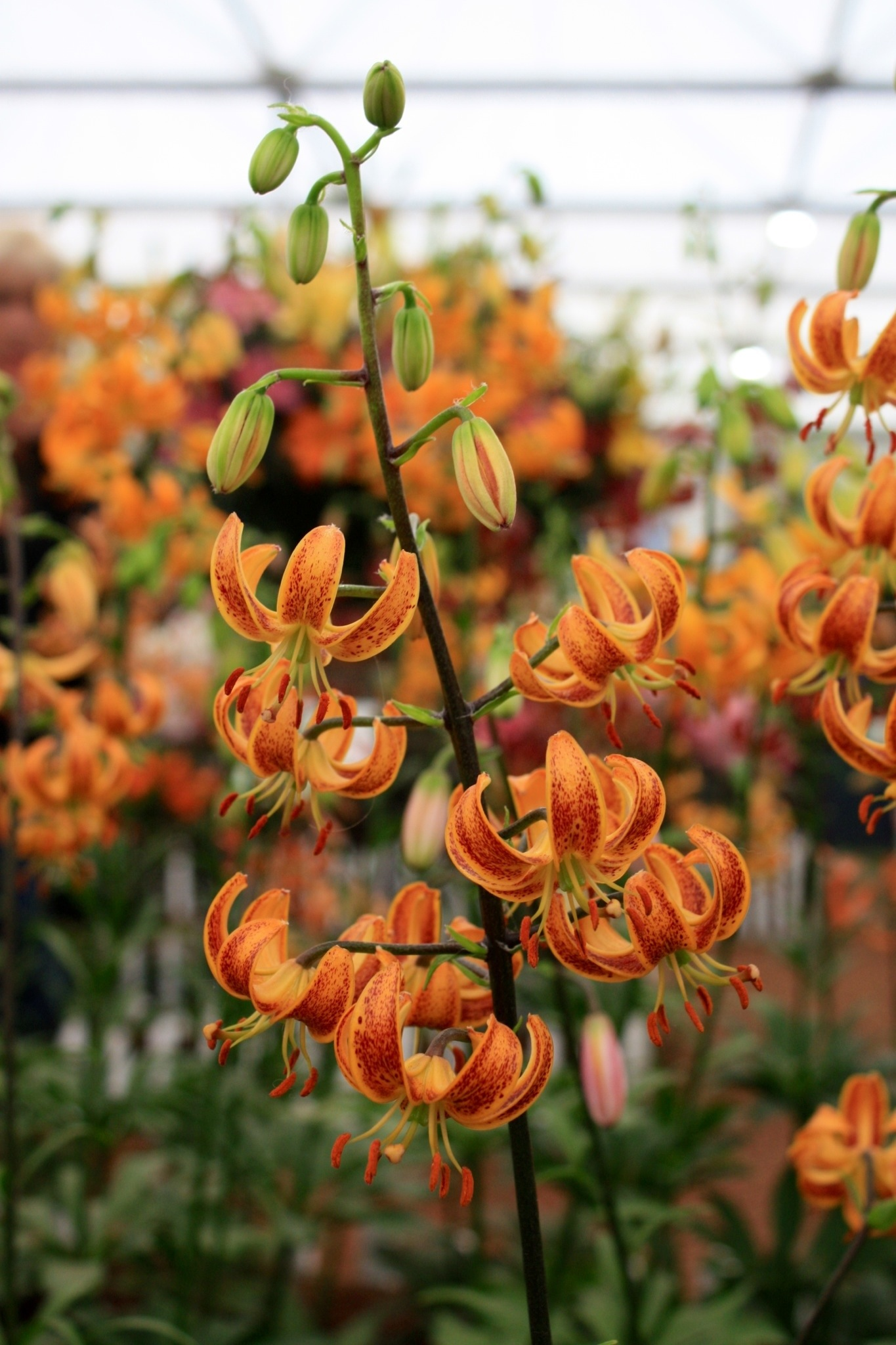 Wp images lilium post 4 - 20130527 092014 Jpg