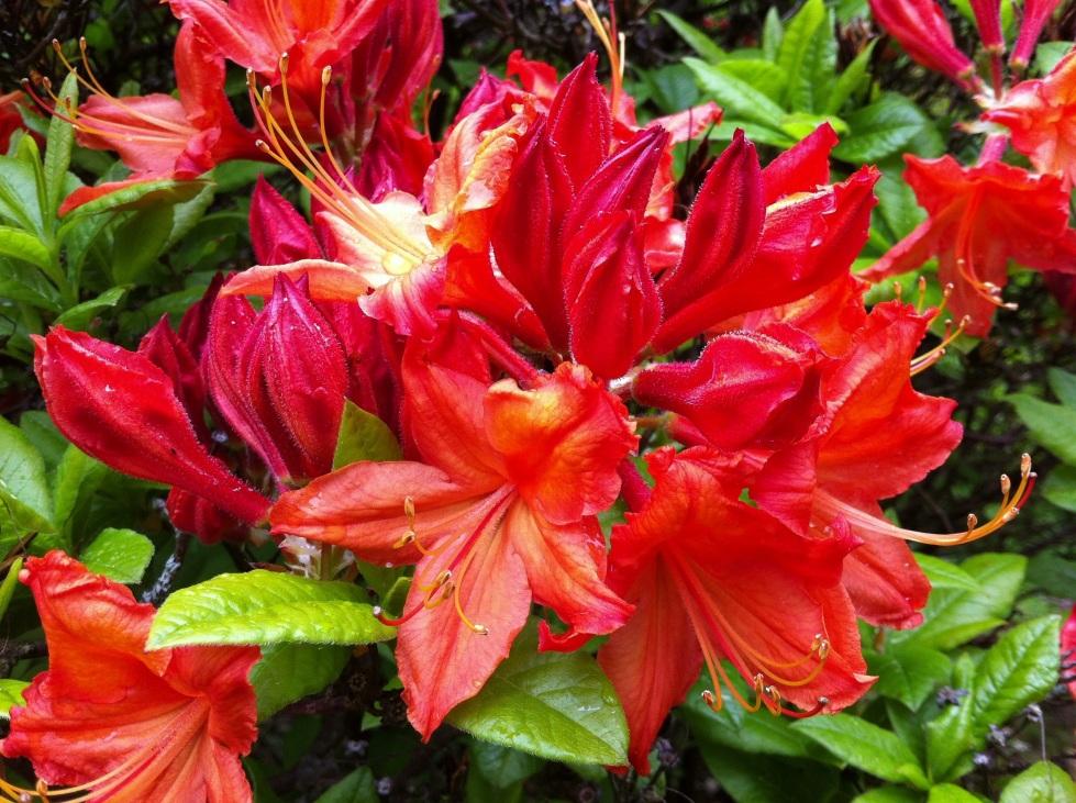 Deciduous Azalea, Hoarold Hillier Gardens, May 2013