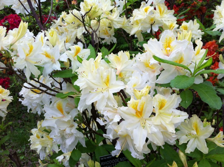 Deciduous Azalea, Harold Hillier Gardens, May 2013