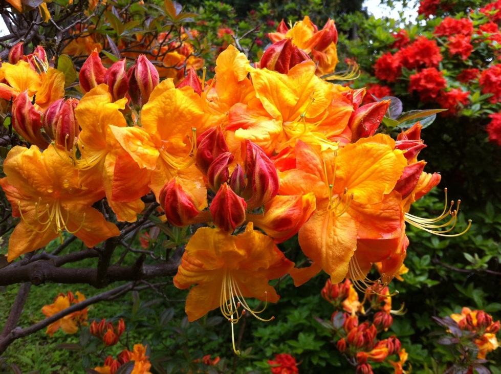 Rhododendron 'Klondike', Harold Hillier Gardens, May 2013